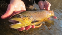Farmington Brown Trout - Dec. 2014_1